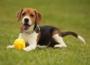 El Beagle, un perro muy alegre